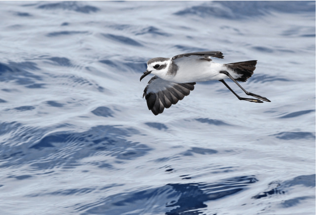 White-faced Storm-petrel by Jeremiah Trimble